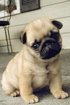 Teacup Pug!!! i need one of these they are so cute