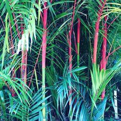 Sealing Wax Palm seen at Cairns Botanic Garden #exploreTNQ #thisisqueensland #seeaustralia #amazing