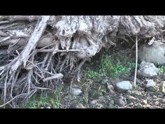 Catfish fishing location under tree roots. Giant Cats like this structure. Makes a current break.