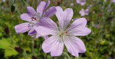 Hardy Geranium 'Chantilly' (Geranium renardii x  gracile)