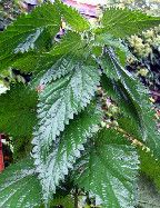 <p>Nettle is delicious in pesto and hazelnut brings an earthy compliment to this sauce. It makes about 2 cups. Ingredients 2 cups frozen or steamed nettle leaves 3/4 cup grated Parmesan 3/4 cup olive oil 5 chopped garlic cloves 1/2…</p>