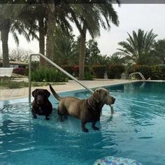 If you put labs in water, they turn into dachshunds