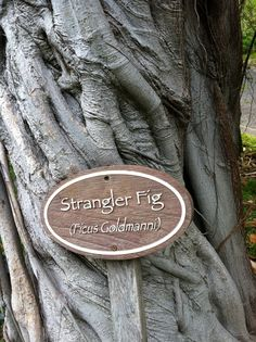 Strangler Fig - our trees are labeled so guests can learn about the local environment. Peninsula Papagayo, Toddler Stuff, Ficus, Four Seasons, Beautiful Landscapes, The Locals, Environment, Trees, Craft