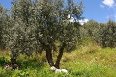 olive tree, Gemlik, Turkey
