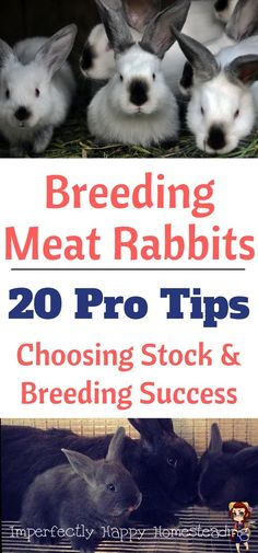Breeding Meat Rabbits - 20 Pro Tips for Choosing Stock & Breeding Success on your Homestead.