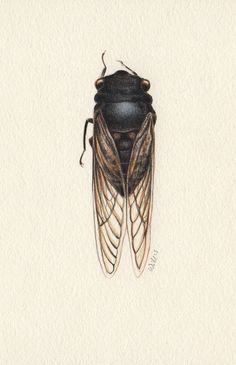A life size illustration of a cicada Watercolor Ideas, Watercolor And Ink, Australian Insects, Cicada Tattoo, Jenny Phillips, Shall We Date, Wildlife Art, Beetles, Tattoos With Meaning