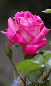 Pretty Pink Rose with Rain Beautiful Pink Roses, Amazing Flowers, Beautiful Flowers, Beautiful Things, Rosas Gif, Blossom Garden, Flowers Gif, Rosa Rose, Rose Pictures