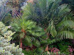 86 best palmeiras images on pinterest palm plants garden and alternative. Black Bedroom Furniture Sets. Home Design Ideas