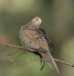 Mourning Dove (photo by Jack Bartholmai)