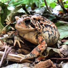 Wise old garden toad.