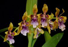 Odontoglossum wyattianum - Flickr - Photo Sharing!