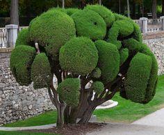 Nature+Mediterranean | Cupressus sempervirens The Mediterranean Cypress