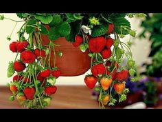 As Planting strawberries in pots inside home Planting fruit gay vlog vessel The Whoot, Strawberry Planters, Pinterest Projects, Strawberry Recipes, Back Gardens, Raised Garden Beds, Planter Ideas, Herb Garden, Decoration
