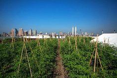 Brooklyn Grange's New Brooklyn Navy Yard Roof Farm Celebrates First Harvest with Mayor Bloomberg   Inhabitat New York City #newyork #green #eco