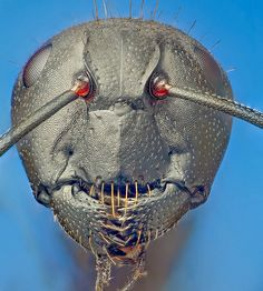 Camponotus vagus (Scopoli, 1763) carpenter #ant. #insect--I think I have these bitches in my attic...