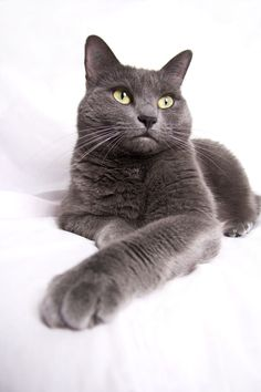 OMG....looks just like our crazy cat Memphis! #RussianBlueCat