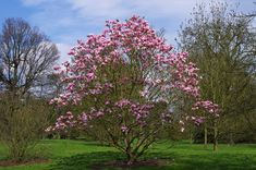 Star Wars Magnolia Magnolia Trees, Trees And Shrubs, Early Spring, Tulips, Seeds, Star Wars, Bloom, Lily, Flowers