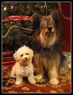 Maltese? (LEFT) and Briard Puppy (RIGHT)