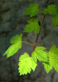 Wasatch Maple Acer glabrum by Nate A, via 500px
