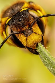 Europena Wool Carder Bee IX by dalantech. @go4fotos