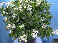 According to Feng Shui practices, it encourages placing Jade Plants in east locations for family harmony, health, initiation of projects. Jade Plant Care, Lucky Plant, Crassula Ovata, Natural Beauty Recipes, Jade Plants, Natural Homes, Autumn Garden, Natural Home Remedies, Game Of Life