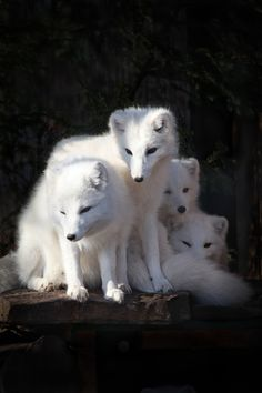 White arctic foxes   ...........click here to find out more     http://googydog.com