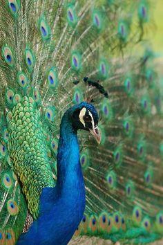 i love peacocks!