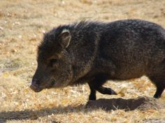 javelina running | will snack on any loose pets or children if they re left unguarded ...