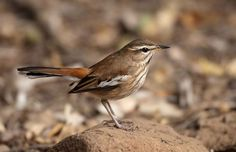 chizarira national park zimbabwe - Google Search - white-browed scrub-robin - image: safaribookings Stonechat, Zimbabwe, Robin, National Parks, Birds, Animals, Google Search, Image, Animales