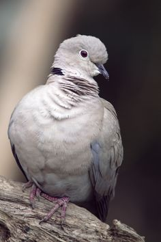 """Collared Dove"" by Sylvia Fresson"