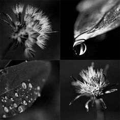 Dandelion photography Dewdrop on leaf by UnAirDeParisByAlbane