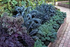 Glorious Kale - The principle of crop rotation is to grow specific groups of vegetables on a different part of the vegetable plot each year. This helps to reduce a build-up of crop-specific pest and disease problems and it organises groups of crops according to their cultivation needs...