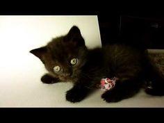 KatVonD - cute kitten chocolate british cat   #cat #kitten #kitty #kittens #playing #british #britishshorthair #cats #meow #babies #video #lovable #funny #sweet #pet #peluche #gattini #gatti #mici #micini