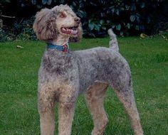Google Image Result for http://www.caninest.com/images/phantom-poodle.jpg