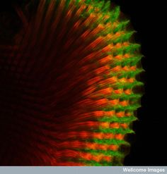 This is the retina from the eye of the fruit fly Drosophila melanogaster.