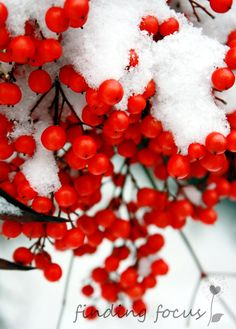 Weight of Winter / Pure White Snow Covered Scarlet, Cardinal Red Berries Hang from Bushes in the Chill December - 5x7 Fine Art Photography by Heather from Etsy Shop findingfocus ($15)