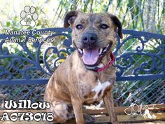 WILLOW - URGENT - Manatee County Animal Services in Palmetto, Florida - ADOPT OR FOSTER - Spayed Female Hound Mix - at shelter since March 10, 2016 - Very friendly, Loving and sweet!! She is a big wiggle waggle of LOVE. She is a playgroup superstar with other dogs! She loves to play in the yard and really enjoys her toys! Likes to learn too! She knows sit, double paw and SIT PRETTY!!! Come meet this amazing GEM of a girl today!