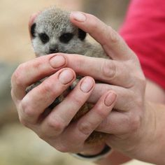 2 New Meerkat Pups For Wellington Zoo