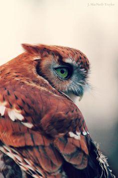 Green Eyes - Eastern Screech Owl
