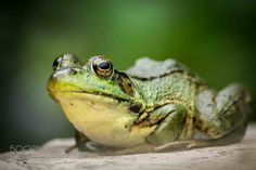 Green Frog Again by OrtBaldauf #animals #animal #pet #pets #animales #animallovers #photooftheday #amazing #picoftheday
