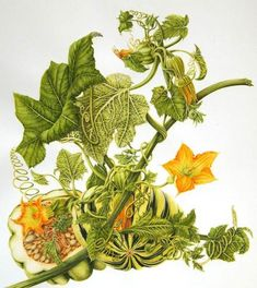 Botanical illustration of summer squash by Milly Acharya Botanical Flowers, Botanical Prints, Art Floral, Squash Flowers, Vegetable Illustration, Illustration Blume, Botanical Drawings, Fruit Art, Creations