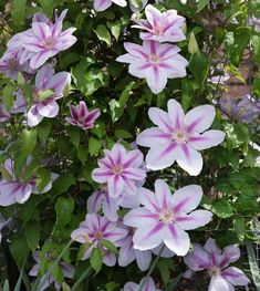 All About Clematis. Clematis are hardy perennials with long, vining stems that will climb up trellises, over arbors or through other plants. Learn how to plant and grow these beautiful summer flowers. Clematis Plants, Autumn Clematis, Clematis Vine, Clematis Armandii, Climbing Flowers, Climbing Vines, Hardy Perennials, Flowers Perennials, Gardening Magazines