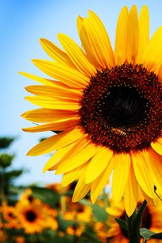 Unduh 76 Wallpaper Wa Bunga Matahari HD Terbaik