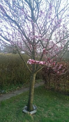 Blodblomme