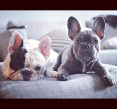 Manny and Frank, French Bulldogs, They nap hard, play hard, and wear awesome outfits. What more could you want?