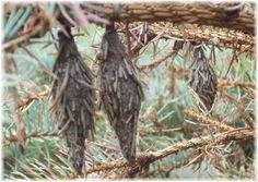 Bagworms - Life Cycle, Habitat, Pictures, Treatment and Control Bag Worms, Harmful Insects, Scary Things, Garden Pests, Lawns, Outdoor Stuff, Life Cycles, Voodoo, Habitats