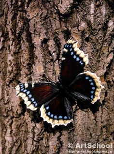 mourning cloak - saw my first one today. It must be spring!