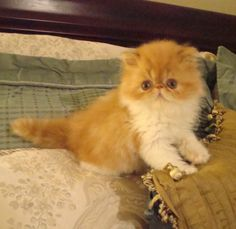 Red and White Exotic Shorthair. That face! So cute.