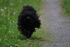 Der Puli Hund – der Hütehund der ungarische Schäfer