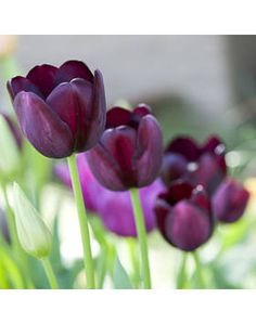 Black as the night Along with 'Black Parrot', 'Queen of the Night' is one of the darkest tulips on the market. To grow: Plant this moody beauty in fall for a spring bloom.